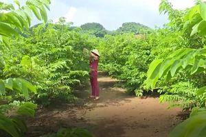 Sơn La: Nông dân làm giàu từ trồng na theo tiêu chuẩn Vietgap