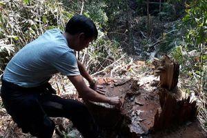 Lợi dụng trồng rừng để phá rừng, một công ty bị 'sờ gáy'