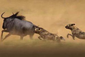 CLIP: Chó hoang truy sát linh dương đầu bò và cái kết