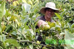 Đắk Nông: Cho cà phê ở ghép với quýt, mới nghe cứ tưởng trồng 'nhăng nhít'