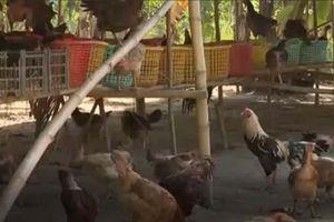 An Giang: Thoát nghèo từ mô hình nuôi gà thả vườn