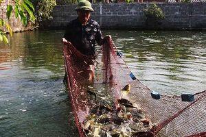 Trên vùng đất cát và 'khát' vẫn nuôi được 10 tấn cá lóc, cá rô