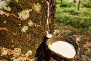 Giá cao su tăng do lo ngại dịch bệnh trên cây cao su ảnh hưởng đến nguồn cung