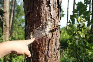 Công an tạm giữ 5 người vụ đầu độc rừng thông ở Đắk Nông