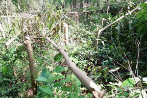 Hơn 4.000 cây keo bị kẻ xấu chặt ngang thân ở Quảng Nam