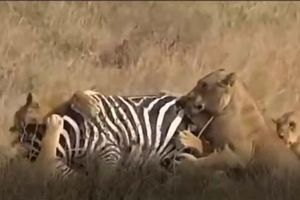 CLIP: Đàn sư tử dàn trận tóm gọn ngựa vằn