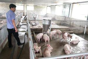 Hà Nội đã tiêu hủy trên 70.500 con lợn giống