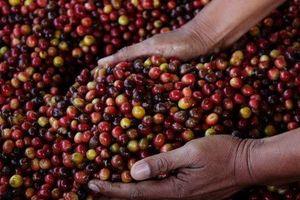 Giá cà phê hôm nay 30/10: Tiếp tục tăng 100 đồng/kg tại tỉnh Kon Tum