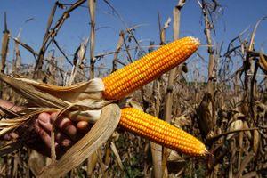 Giá ngô tăng do tiến độ thu hoạch thấp hơn kỳ vọng