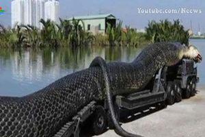 Khám phá những chú rắn hổ mang chúa 'khủng' nhất thế giới: Việt Nam cũng góp mặt