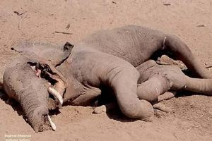 Bị cá sấu tấn công, voi đè bẹp kẻ thù trước lúc chết