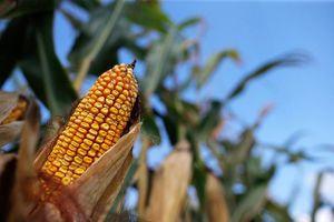 Giá ngô tăng do thời tiết xấu có thể gây chậm tiến độ thu hoạch