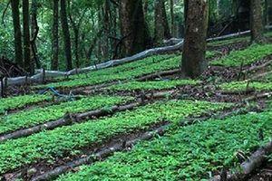 Quảng Nam: Gần 20 tỷ đồng bảo tồn, kiểm định Sâm Ngọc Linh