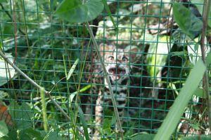 Bệnh viện Gia An 115 tự nguyện trao trả mèo rừng quý hiếm về rừng