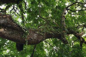 Cây thị 900 tuổi, gắn liền trận chiến Bạch Đằng được công nhận là cây di sản