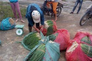 Thừa Thiên - Huế: Bỏ lúa trồng hành lá, hợp tác xã thu hơn 25 tỷ đồng mỗi năm