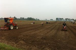 Quế Võ trồng trên 1.790ha khoai tây