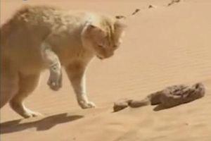 CLIP: Trận chiến hiếm gặp giữa mèo cát và rắn sa mạc