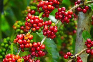 Giá cà phê hôm nay 5/11: Giảm mạnh sau đà tăng ngắn ngủi