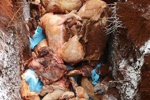 Tiêu hủy hơn 1,6 tấn thịt bệnh dịch tả lợn châu Phi