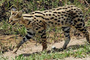 Lạ lùng loài mèo chân dài, tai to, lại biết bơi 'nhoay nhoáy'