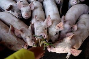 180 xã tái phát dịch tả lợn châu Phi ở Hà Nội