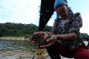 Điện Biên: Người dân Pá Khoang vào mùa thu lượm hạt dẻ