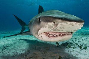 Phát hiện bàn tay đeo nhẫn cưới trong bụng cá mập hổ ở Pháp