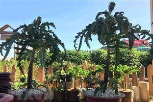 Việt Nam lần đầu đăng cai Lễ hội Bonsai và Suiseki châu Á-TBD