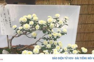 Hoa cúc - Quốc hoa và biểu tượng Hoàng gia Nhật Bản