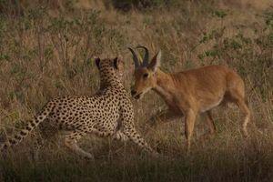 CLIP: Màn rượt đuổi 'nghẹt thở' của báo săn với linh dương