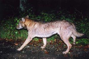 Cuộc săn tìm 'ma sói' Nhật Bản sau lần chạm trán bí ẩn