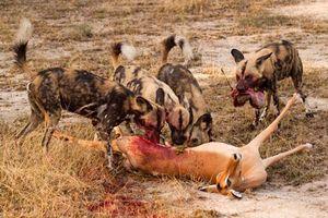 Cận cảnh màn săn mồi đẫm máu của chó hoang châu Phi