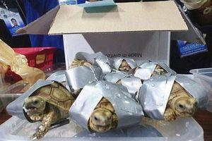 Chấn động hơn 1.500 rùa quý hiếm trong hành lý sân bay