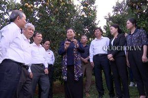 Phó Chủ tịch Thường trực Quốc hội Tòng Thị phóng thăm mô hình trồng cam tại tỉnh Hòa Bình
