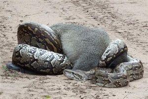 Khỉ chết thảm dưới 'cái ôm' của trăn 'khủng'