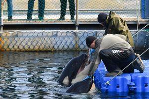 Nga thả con cá voi beluga cuối cùng khỏi 'nhà tù', ra đại dương