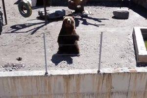 Ngộ nghĩnh gấu vẫy tay chào đáp từ khách tham quan tại vườn thú ở Nga