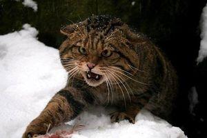 Sự thật gây ngạc nhiên về loài mèo rừng ít ai biết