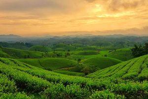 Đắm say với vẻ đẹp bất tận ở đồi chè Long Cốc