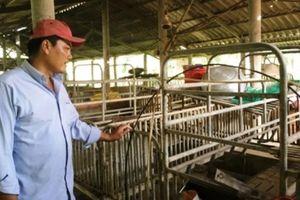 Giá thịt lợn tăng cao, người chăn nuôi vẫn khó tái đàn