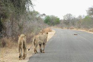 Sư tử dũng mãnh xấu hổ không cướp được thịt của báo đốm