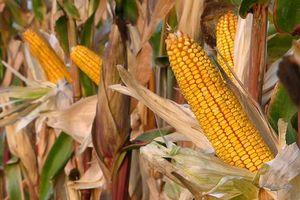 Giá đậu tương và ngô tăng trở lại do tiến độ thu hoạch thấp hơn kỳ vọng thị trường