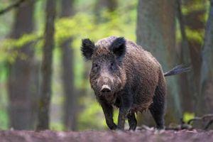Lợn rừng đào tung kho ma túy 21.000 USD tại Italy