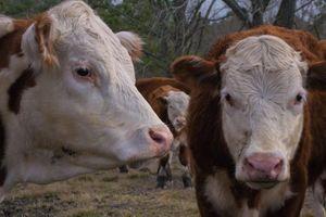 3 con bò bị cuốn ra biển trong bão Dorian vẫn sống