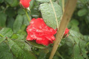 Mê mẩn hoa hồng rộ nở ở làng hoa Nghĩa Hiệp