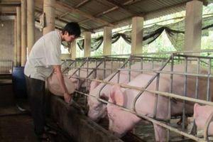 Giá lợn tăng cao kỷ lục: Kịch bản 'khủng hoảng thịt lợn' dịp Tết Nguyên đán có xảy ra?