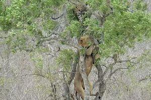 Trèo lên cây định cướp mồi của báo hoa mai, sư tử nhận cái kết đắng