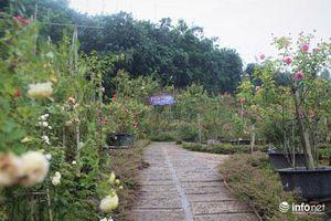 Phú Thọ: Chàng thanh niên 30 tuổi trồng trại hoa hồng thu hàng trăm triệu mỗi năm