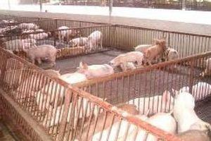 Giá lợn hơi tăng nhanh, 'thủ phủ nuôi lợn miền Bắc' lao đao